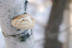 Mushroom on Birch Tree. Close-up of a mushroom on the trunk of a birch tree, with a high depth of field stock photos