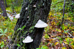 Mushroom on birch trees.  Chaga or tinder. Medicine and Pharmacy. Royalty Free Stock Photo