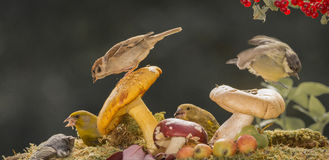 Mushroom birdies. Close up of sparrow standing on mushroom and a titmouse jumping of another and finch beneath Stock Photography