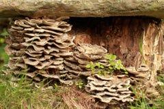 Mushroom Bjerkandera adusta Stock Image