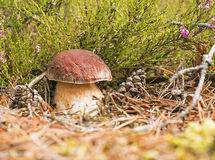 Mushroom boletus. On the background of heather and pine cones Royalty Free Stock Photo