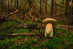 Mushroom(Boletus edulis) Royalty Free Stock Photo