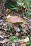 Mushroom Boletus edulis Stock Photo