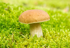 Mushroom ( Boletus edulis) Royalty Free Stock Photography