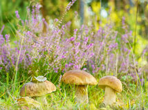 Mushroom( Boletus edulis Stock Images