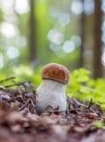 Mushroom Boletus edulis Royalty Free Stock Image