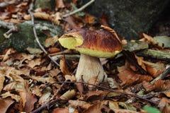 Mushroom boletus edulis Stock Image
