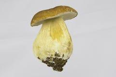 Mushroom - Boletus Edulis Royalty Free Stock Images