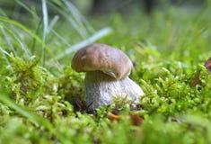 Mushroom (Boletus edulis) Royalty Free Stock Photography