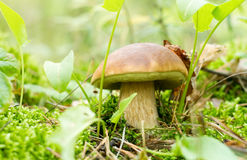 Mushroom ( Boletus edulis) in summer forest. Royalty Free Stock Photo