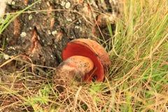 Mushroom boletus erythropus Stock Image