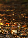 Mushroom Boletus. In forest background. Autumn mushrooms Royalty Free Stock Photo