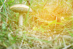 Mushroom boletus in the forest, in the grass. Close-up. Stock Image