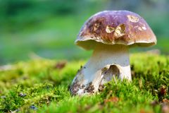 Mushroom - boletus in the grass stock photography