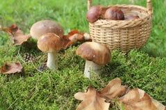 Mushroom boletus Stock Image