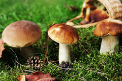 Mushroom boletus growing in the forest. Fall background Stock Photography