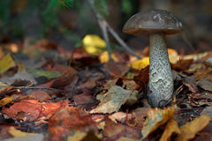 Mushroom (boletus) among the leaves Stock Photos