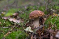 Mushroom boletus, porcini, in moss, side view. royalty free stock photos