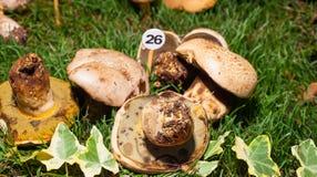 Mushroom Boletus radicans Stock Image