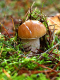 Mushroom Boletus. In it`s natural habitat. Edible  edulis. Mushrooms in the autumn forest..  in moss background Stock Photography