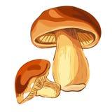 Mushroom Boletus. VECTOR illustration. Stock Image