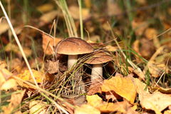 Mushroom boletus in the woods Stock Photo
