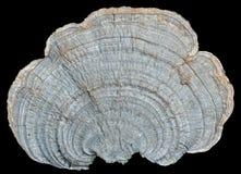 Mushroom (bracket-fungus) 2 Royalty Free Stock Photos