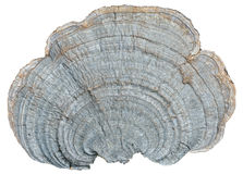 Mushroom (bracket-fungus) 4 Royalty Free Stock Photography