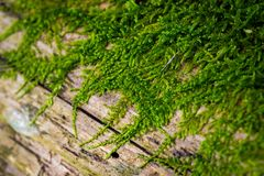 Mushroom in bright green moss on wooden surface stock photography