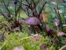 A mushroom 3. A brown birch bolete in the moss Royalty Free Stock Photography