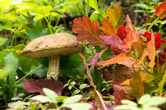 Mushroom - brown cap boletus growing in the forest Stock Photography