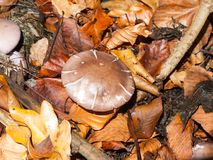 Mushroom brown forest floor cap fungi autumn dead leaves. Essex; england; uk Royalty Free Stock Photos