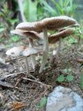 mushroom1 royalty free stock image