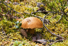 Mushroom a capercaillie Royalty Free Stock Image