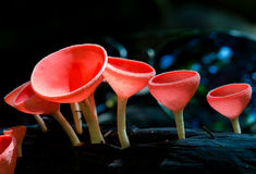 Mushroom Champagne in the forest Royalty Free Stock Photos