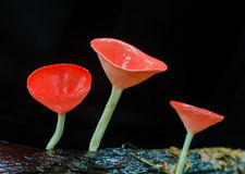 Mushroom Champagne in the forest Royalty Free Stock Photography