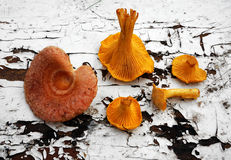 Mushroom Chanterelle  and  Lactarius torminosus Royalty Free Stock Photos