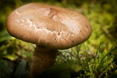 Mushroom (Chroogomphus rutilus) close up Stock Photos