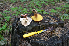 Mushroom clearing. Cut the mushrooms on a tree stump Stock Photography