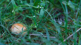 Mushroom closeup in grass. In forest Stock Images