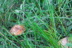 Mushroom closeup in green grass Royalty Free Stock Photos