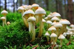 Mushroom cluster at fall Royalty Free Stock Image
