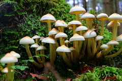 Mushroom cluster growing at tree Royalty Free Stock Image