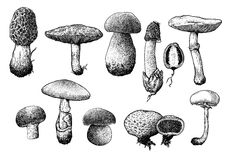 Mushroom collection illustration, drawing, engraving, line art Royalty Free Stock Image