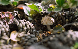 Mushroom. Between cones in a pine forest Royalty Free Stock Photography
