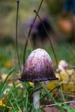 Mushroom Coprinus Comatus  with Ink Stock Images