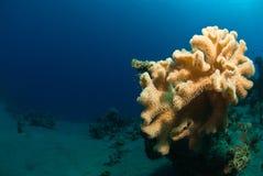 Mushroom coral Stock Images