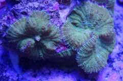 Mushroom coral. A detail of an mushroom coral underwater in the sea Stock Photography