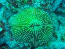 Mushroom coral, Fungia Stock Photo