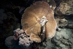 Mushroom coral and ocean Royalty Free Stock Images